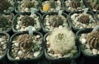 When and how to water the cactus-the season before growth