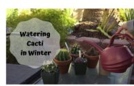 Why and how to water my cactus in winter (cactus