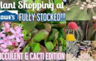 Buy plants at Lowe's Big Box store|| Ample supply|| Succulent