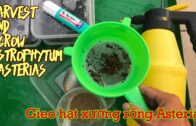 How to harvest and grow Astrophytum Asterias cactus from seeds