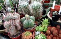 Our range of Polytunnel cacti and succulents