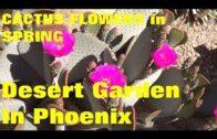 Plant Traveler: Cactus Flower in Phoenix Spring Desert Garden