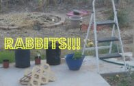 There are rodents (rabbits) in my Az Desert Garden!