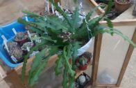 Beginner's Guide to Cactus: Suspected Root Mealbug-What to do?My fishbone