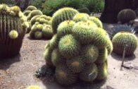 Desert Garden, Huntington Botanical Garden, August 31, 2013 (Golden barrel