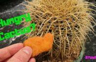 How to fertilize cacti-feeding cacti