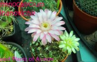 My Gymnocalycium mihanovichii cactus has two different colored flowers