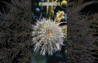 Saguaro   #ASMR   🌵 ☀ 😌 #cactus #shorts