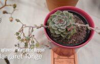 Succulent Plant Identification: xGraptoveria'Margarete Reppin'