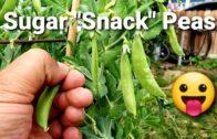 """Sugar """"Snack"""" Peas ,my favorite garden Snack 😋 ♥ 😍"""