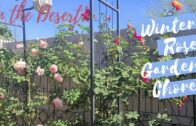 Winter chores in my Arizona Rose Garden