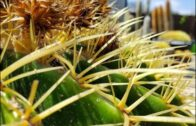 XXL Golden Barrel Cactus   Rescue   Remake a beast!