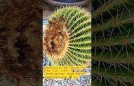 XXL #barrel #cactus rescue #repotting! View the full video! ✌