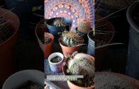 16 cactus | 1 flour sieve | mealybug | death
