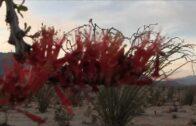 Ocotillo Flowering-Ocotillo Cactus-Fouquieria splendens-Coachwhip in the Anza-Borrego Desert