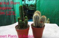 Our LIDL supermarket cactus plants bargain