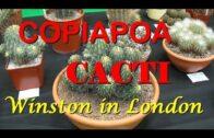 Plant Traveler: Copiapoa Cacti #succulents